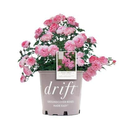1 Gal. Pink The Sweet Drift Rose Bush with Pink Flowers (2-Plants)