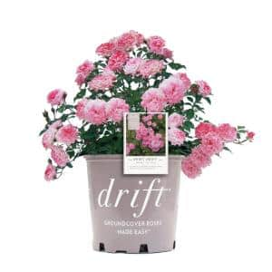 3 Gal. Pink The Sweet Drift Rose Bush with Pink Flowers (2-Plants)