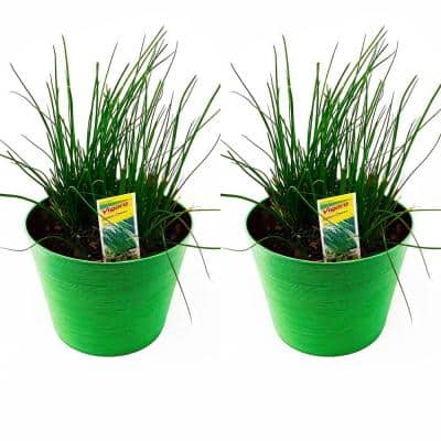 1.5 Qt. Herb Plant Onion Chives in 6 In. Deco Pot (2-Plants)