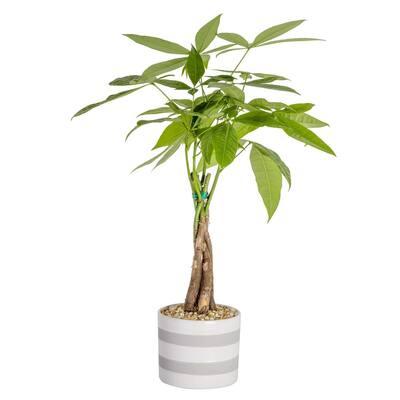 Pachira Plant in 5 in. Premium Ceramic