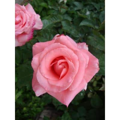 """Package Rose Touch of Class Pink Flower In 3.5"""" by 12"""" Plastic Package"""