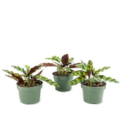 4 in. Rattlesnake Calathea Plant in Grower Pot (4-Piece)