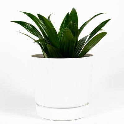 Janet Craig Dracaena Live Plant Inside 6 in. Decorator White Contemporary Planter with Built in Saucer