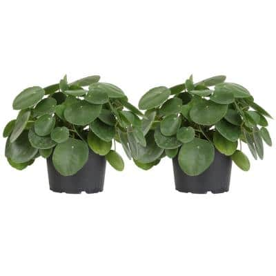 Pilea Peperomioides Sharing Plant in 6 in. Grower Planter (2-Pack)