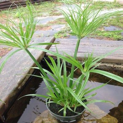 4 in. Dwarf Giant Papyrus Tut Potted Bog/Marginal Pond Plant