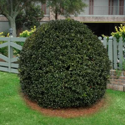 2.5 qt. Holly Nellie R. Stevens Shrub