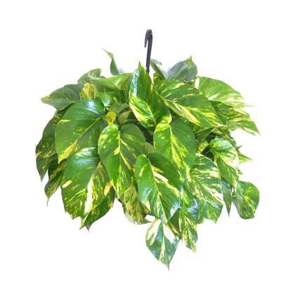 Golden Pothos Live Devils Ivy Indoor Outdoor Houseplant in 10 in. Hanging Basket 18 in. W to 22 in. W
