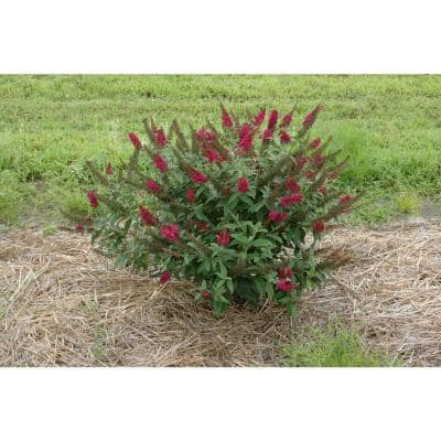 4.5 in.Qt. Miss Molly Butterfly Bush (Buddleia) Live Shrub, Deep Pink Flowers