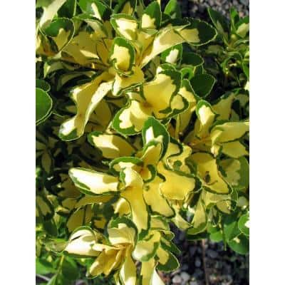 1 Gal. Silver King Euonymus Shrub Evergreen Leaves with Silvery White Edges