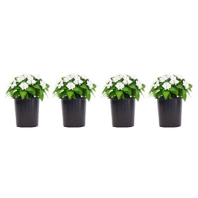 1 Gal. SunPatiens White Impatien Outdoor Annual Plant with White Flowers (4-Plants)