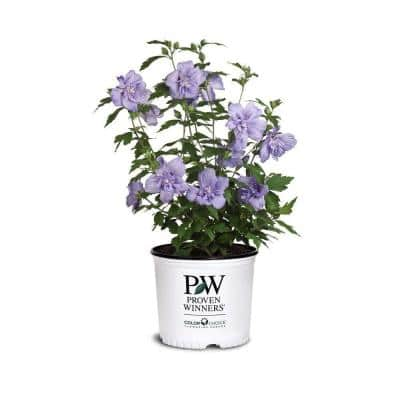 2 Gal. Blue Chiffon Rose of Sharon (Hibiscus) Plant with Blue Flowers
