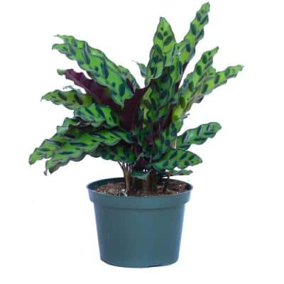 12 in. - 14 in. Tall Calathea Rattlesnake Plant in 6 in. Grower Pot