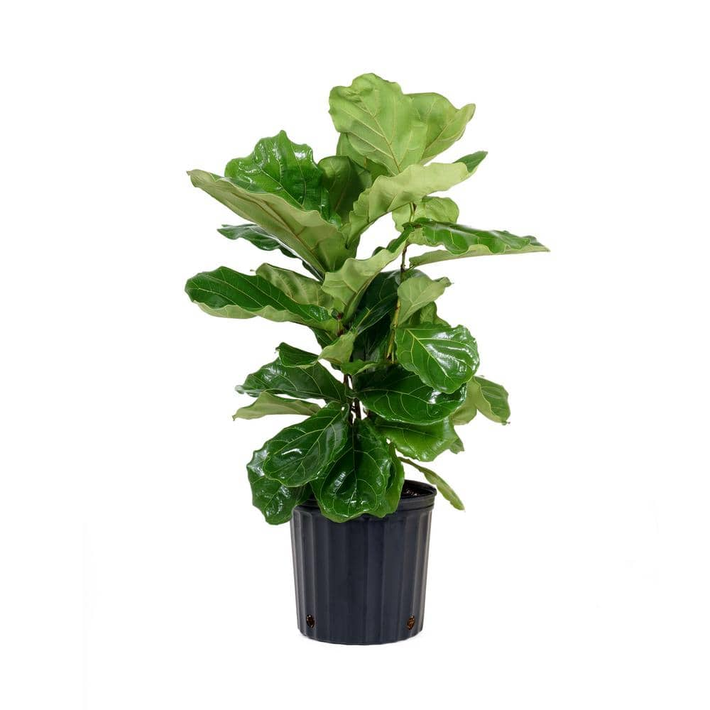 United Nursery Ficus Lyrata Plant In 9 25 In Grower Pot 23782 The Home Depot