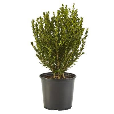 2.25 Gal. Wintergreen Boxwood Shrub Plant