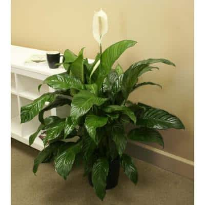 Spathiphyllum Sweet Pablo in 9.25 in. Grower Pot