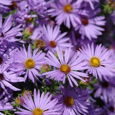 4 in. Pot Raydon's Favorite Aster, Live Perennial Plant (1-Pack)