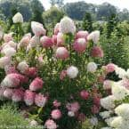 4.5 in. Qt. Zinfin Doll Hardy Hydrangea (Paniculata) Live Shrub, Pink and White Flowers