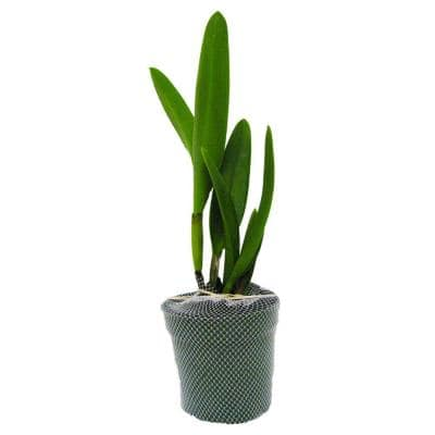 B. Nodosa Hybrid Package Orchids 4 in. plastic pot