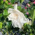 3 Gal. Veitchii Gardenia Flowering Shrub With White Blooms