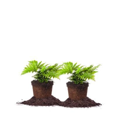#1 Autumn Fern Shrub (2-Pack)