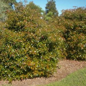 3 Gal. Bronze Beauty Cleyera - Live Compact Evergreen Shrub, Glossy Foliage