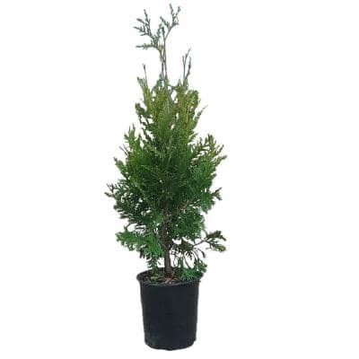 2.5 qt. Pot - Green Giant Arborvitae (Thuja) Tree/Shrub with Fast-Growing Evergreen Foliage, 18+ in Tall