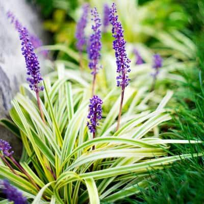 4 in. Variegated Liriope Flowering Shrub With Purple Blooms - 6 Piece