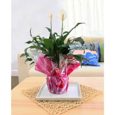 Spathiphyllum Peace Lily Plant in 6 in. Grower Pot Decorated in Gift Wrap