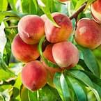 5 Gal. Contender Peach Tree