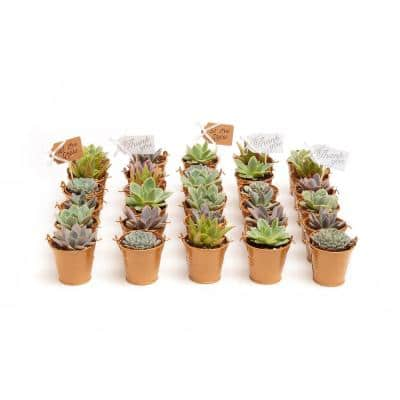 2 in. Wedding Event Rosette Succulents Plant with Caramel Metal Pails and Thank You Tags (30-Pack)