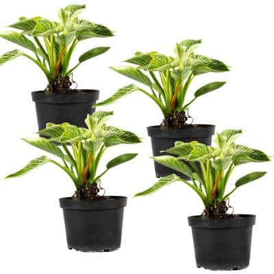 Birkin Philodendron Rare (Araceae) Live Plant in 6 in. Growers Pot (4-Pack)