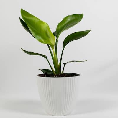 Giant White Bird of Paradise (Strelitzia Nicolai) Live Plant Inside 6 in Decorator White Ribbed Planter