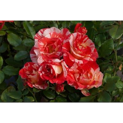 Package Rose Alfred Sisley Orange Yellow Flower In 3.5 in. by 12 in. Plastic Package