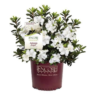 2 Gal. Autumn Angel Shrub with White Flowers