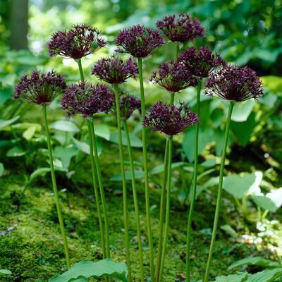 Allium Firmament Bulbs (6-Pack)