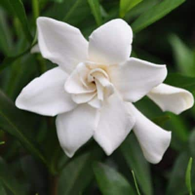 9.25 in. Pot - Frost Proof Gardenia, Live Evergreen Shrub, White Fragrant Blooms