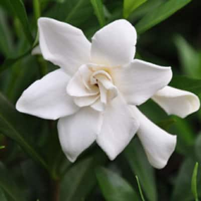 2.5 Gal - Frost Proof Gardenia, Live Evergreen Shrub, White Fragrant Blooms
