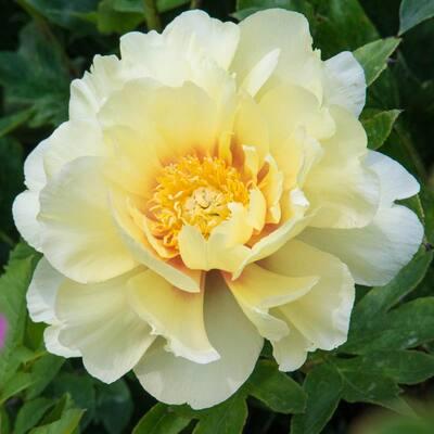 Bartzella Itoh Peony (Paeonia), Live Bareroot Perennial Plant, Yellow Flowers (1-Pack)