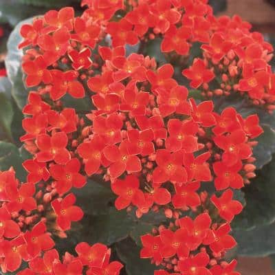 2.5 Qt. Red Flowering Kalanchoe Plant