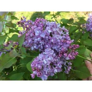 4.5 in. Quart Scentara Double Blue Lilac (Syringa) Live Shrub with Purple-Blue Flowers
