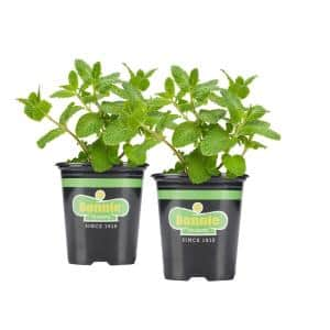 19.3 oz. Sweet Mint Plant 2-Pack