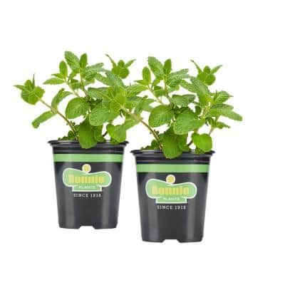 19.3 oz. Sweet Mint Plant 2-Pack
