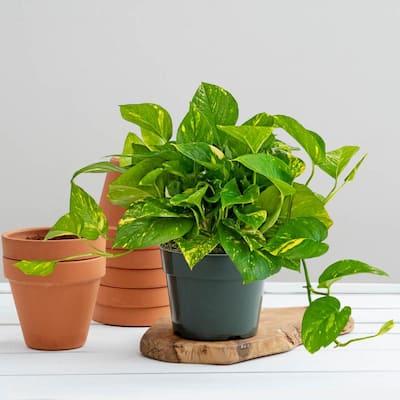 4 in. Pot Golden Variegated Pothos Live Potted Indoor Tropical Housplant