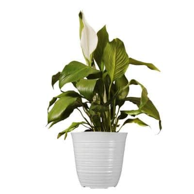 14 in. to 16 in. Tall Peace Lily Plant Spathiphyllum in 6 in. White Decor Pot
