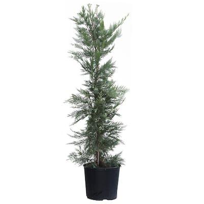 3 Gal. Evergreen Leyland Cypress Trees