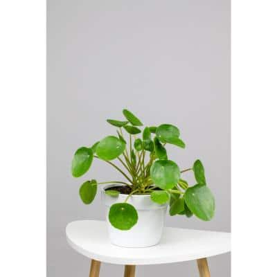 Chinese Money Plant (Pilea Peperomioides) in 6 in. Grower Pot