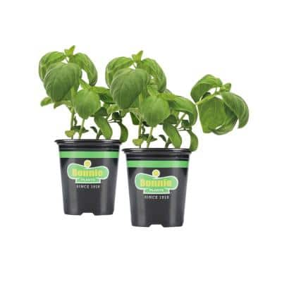 19.3 oz. Sweet Basil Plant 2-Pack