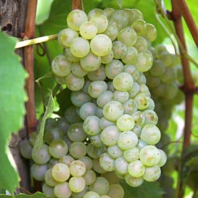 Grapes Thompson Seedless Plants (3-Pack)