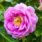 Arctic Blue Floribunda Rose, Live Bareroot Plant, Lavender Color Flowers (1-Pack)