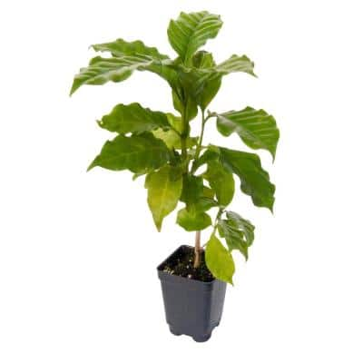 3 in. Pot Dwarf Pacas Coffee Plant (Coffea), Potted Tropical Plant with White Flowers Turning to Black Fruit (1-Pack)